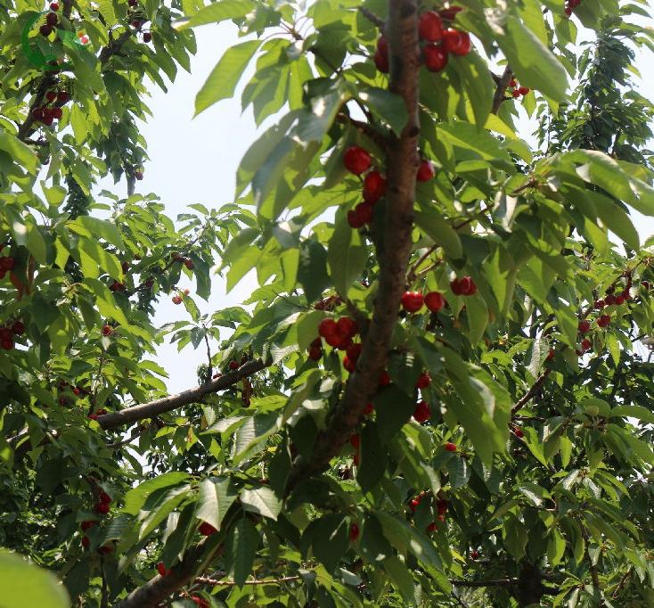 樱桃产业园